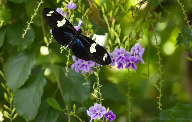 FP Butterfly 1
