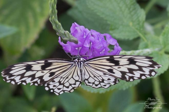 Faust Butterflies-1-43